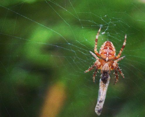 Wieviel Beine hat eine Spinne?