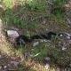 Höllenotter - schwarze Kreuzotter