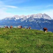 Wilder Kaiser mit Kühen