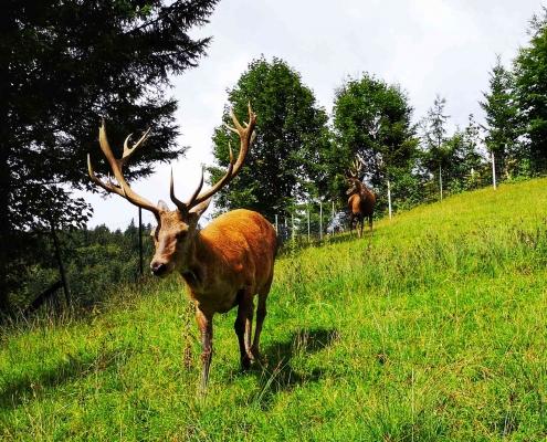Wildpark Wildbichl Niederndorferberg